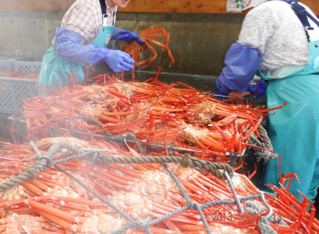 (7)蟹の二次選別
